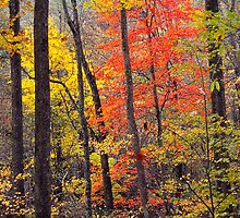 RED MAPLE,AUTUMN by Chuck Wickham