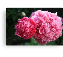 Double Pink Poppies Canvas Print