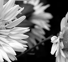Black and White Mums by Sue Coppola