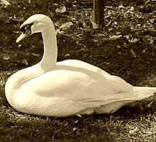 Swan's Song by Judy Wanamaker
