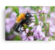 Bumble bee in Heather Metal Print
