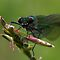 Female Banded Demoiselle by Neil Bygrave (NATURELENS)