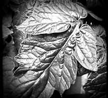 Basil Leaves - Black and White by Maria Schlossberg
