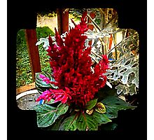 Red Flower in Pot - Vintage Photographic Print
