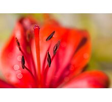 Lilies (disambiguation) Photographic Print