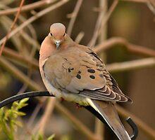Dove by Sheryl Gerhard