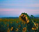 Sunflower Power by Odille Esmonde-Morgan