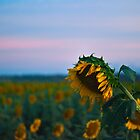 Sunflower Power by Odille Esmonde-Morgan