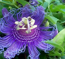 Purple Passion Flower  by Shaun  Gabrielli