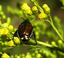 Japanese Beetle by Linda  Makiej