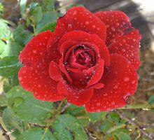 Red Rosey by BingoStar
