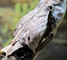 West African Gaboon Viper by Veronica Schultz