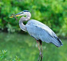 Great Blue Heron with Breakfast by Joe Jennelle