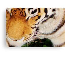 Tiger at the Bear Park; Live and Up Close Canvas Print