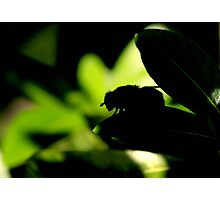 So hot, even the bees are finding shade Photographic Print