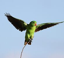 Red-Winged Parrot  by birdpics