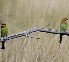 rainbow bee eaters by birdpics