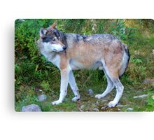 Wolf in the Woods; Feeding Time Canvas Print