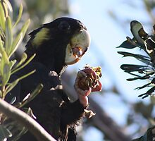I love it when the Black Cockatoos come to town by chrisking7
