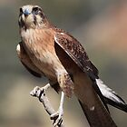 Whistling Kite by Karry Smith