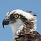 Eagles and Ospreys Only