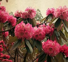 Rhododendron by Margi