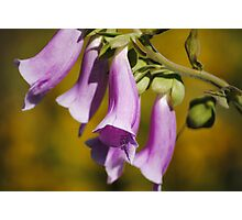Foxglove Photographic Print