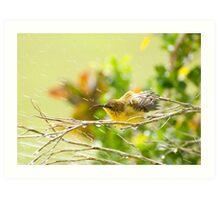 Raindrops keep falling - sunbird bathing. Art Print