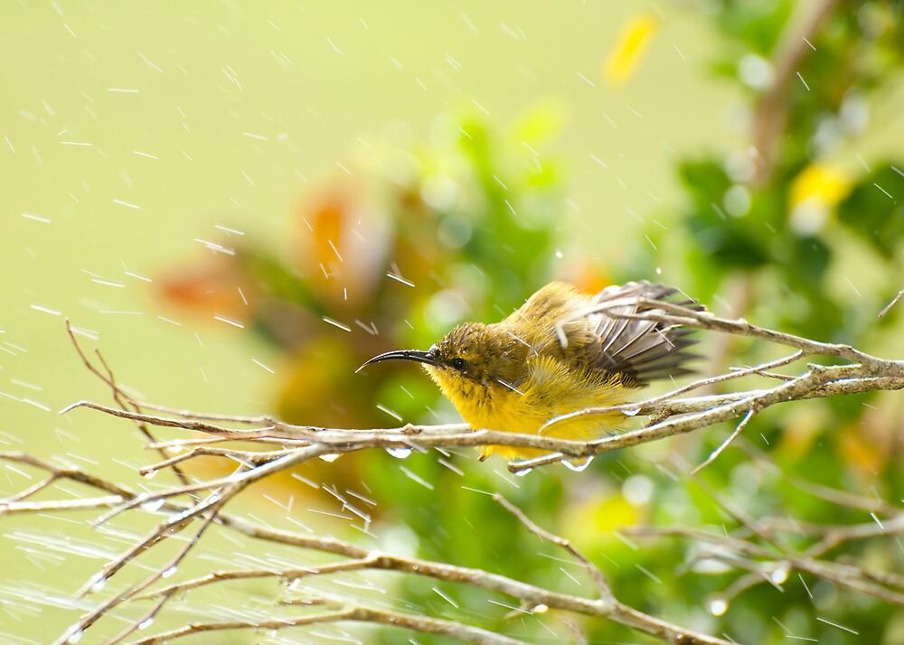 Raindrops keep falling - sunbird bathing. by Jenny Dean