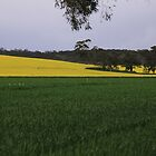 Canola and wheat by indiafrank