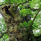Chestnut Tree by © Loree McComb