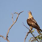 whistling kite  by birdpics