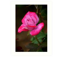 Two Tone Rosebud Art Print