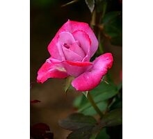 Two Tone Rosebud Photographic Print