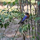 Eastern Bluebird by RebeccaBlackman