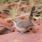 spinifex bird by birdpics
