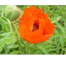 Poppy Photographic Print