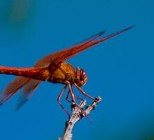 Flame Skimmer by zzsuzsa