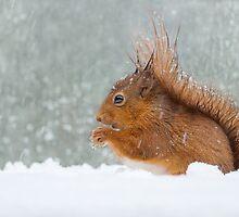 Red Squirrel by Nigel Tinlin