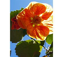 "The Abutilon ""Cristina"" Photographic Print"