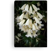 White bells Leith Park Victoria 201509160360     These cover the arches over the pathway to the community hall  Canvas Print