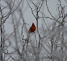 Winter Cardinal by Stacie Forest