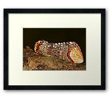Buff-tip (Phalera bucephala) Framed Print
