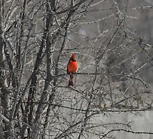 Winter Cardinal 2 by Stacie Forest