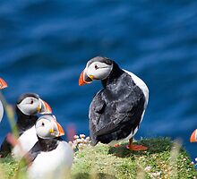 King Puffin by derekbeattie