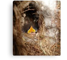 CAROLINA WREN NESTLING - OPEN WIDE Canvas Print