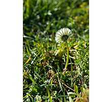 Dandelion Basking in the Sun Photographic Print