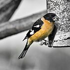 Black-headed Grosbeak by Kim Barton