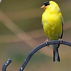 Gold Finch, Male by Sheryl Gerhard