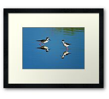 Black Necked Stilts Framed Print